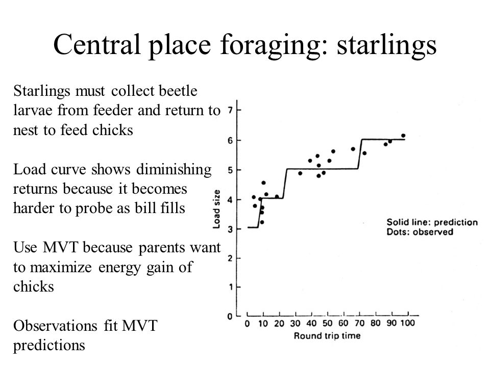 Central place foraging: starlings Starlings must collect beetle larvae from feeder and return to nest to feed chicks Load curve shows diminishing returns because it becomes harder to probe as bill fills Use MVT because parents want to maximize energy gain of chicks Observations fit MVT predictions