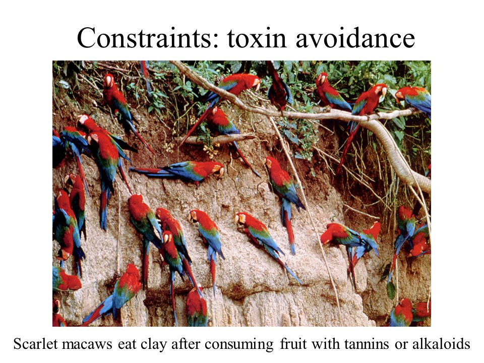 Constraints: toxin avoidance Scarlet macaws eat clay after consuming fruit with tannins or alkaloids