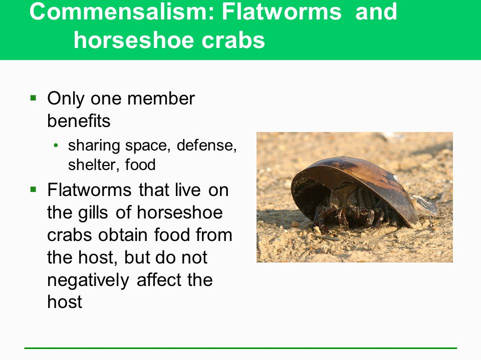 Commensalism: Flatworms and horseshoe crabs  Only one member benefits sharing space, defense, shelter, food  Flatworms that live on the gills of horseshoe crabs obtain food from the host, but do not negatively affect the host