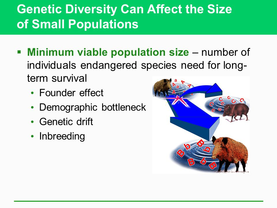 Genetic Diversity Can Affect the Size of Small Populations  Minimum viable population size – number of individuals endangered species need for long- term survival Founder effect Demographic bottleneck Genetic drift Inbreeding