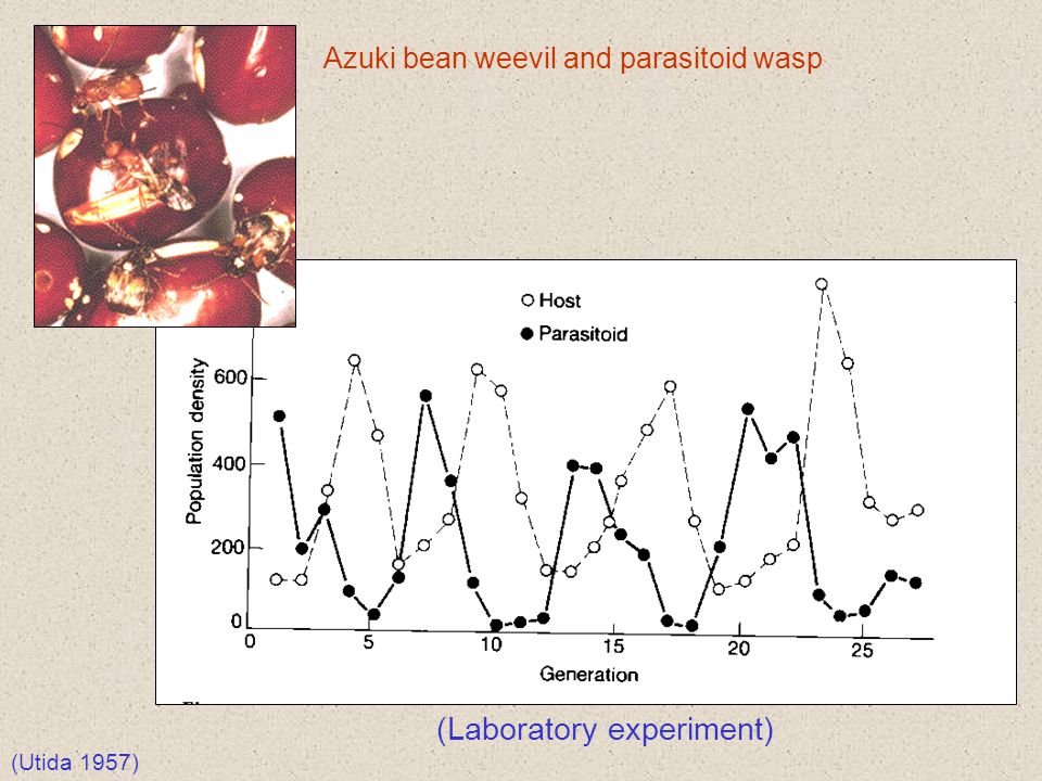 (Laboratory experiment) Azuki bean weevil and parasitoid wasp (Utida 1957)