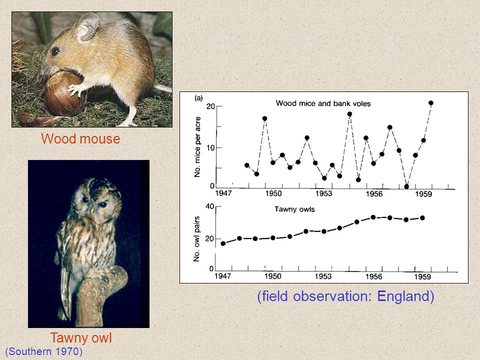 Tawny owl Wood mouse (field observation: England) (Southern 1970)