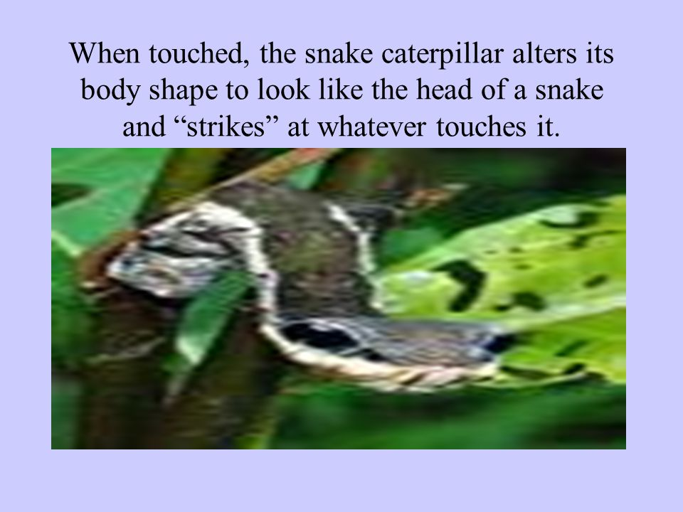 When touched, the snake caterpillar alters its body shape to look like the head of a snake and strikes at whatever touches it.