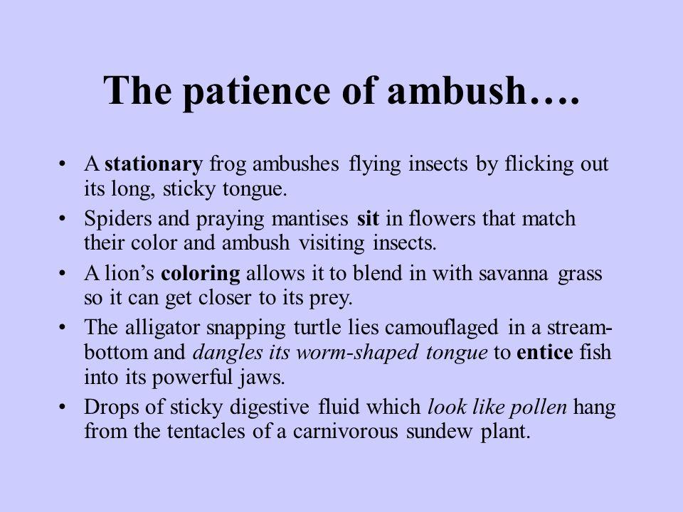 The patience of ambush….