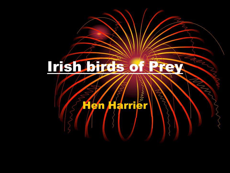 The Hen Harrier is one of few birds of prey that live in Ireland.