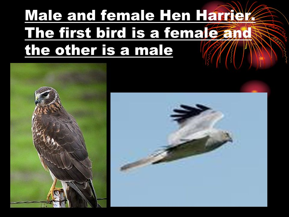 Male and female Hen Harrier. The first bird is a female and the other is a male