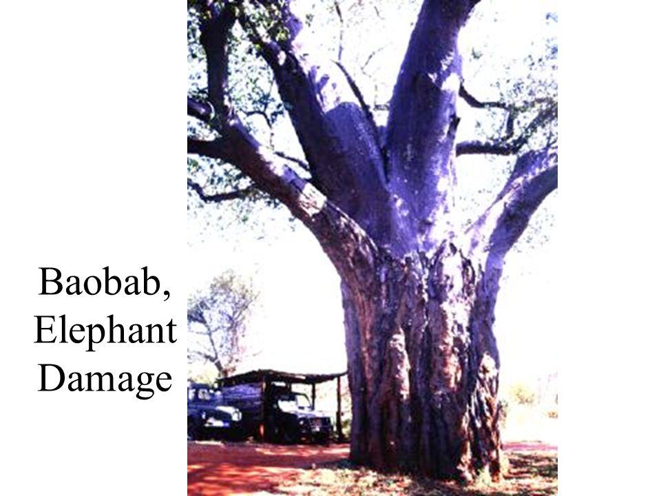 Baobab, Elephant Damage