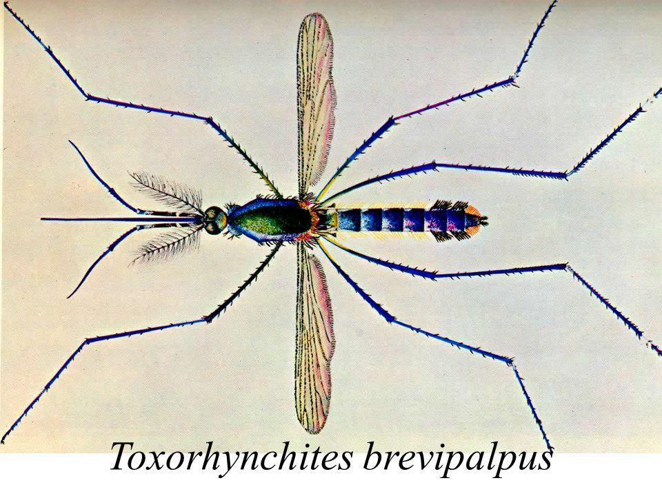 Toxorhynchites brevipalpus