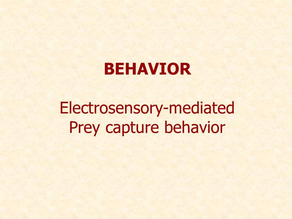 BEHAVIOR Electrosensory-mediated Prey capture behavior