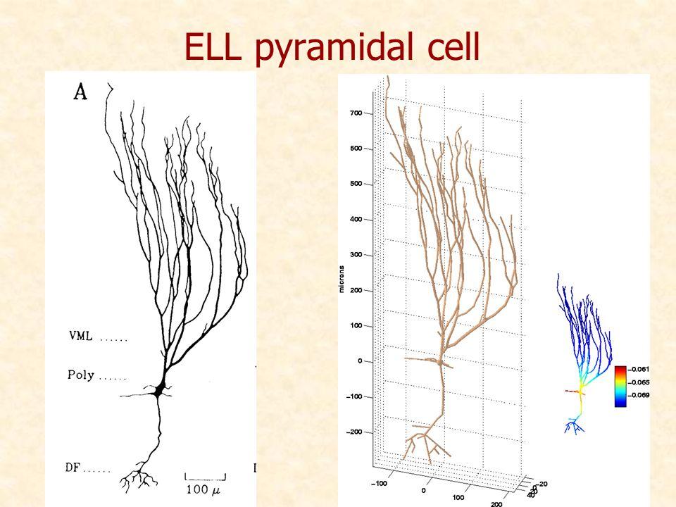 ELL pyramidal cell