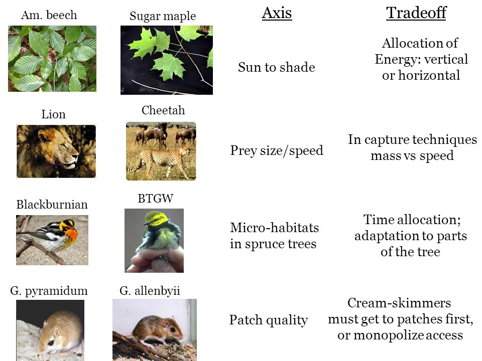 Am. beech Sugar maple Axis Sun to shade Tradeoff Allocation of Energy: vertical or horizontal Prey size/speed In capture techniques mass vs speed Micr