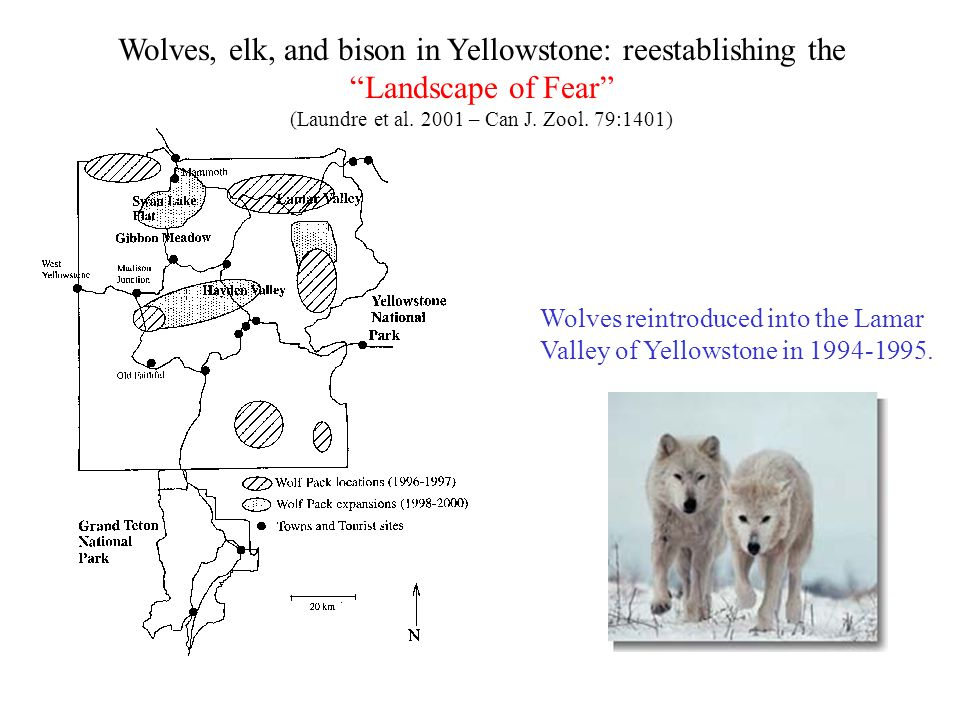 """Wolves, elk, and bison in Yellowstone: reestablishing the """"Landscape of Fear"""" (Laundre et al. 2001 – Can J. Zool. 79:1401) Wolves reintroduced into th"""