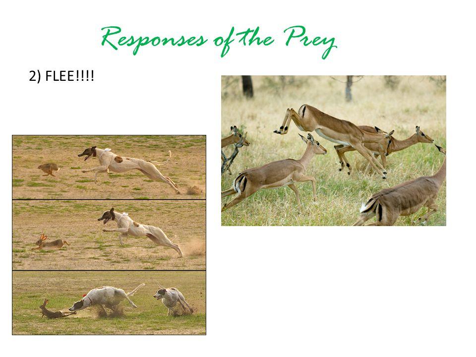 Responses of the Prey 2) FLEE!!!!