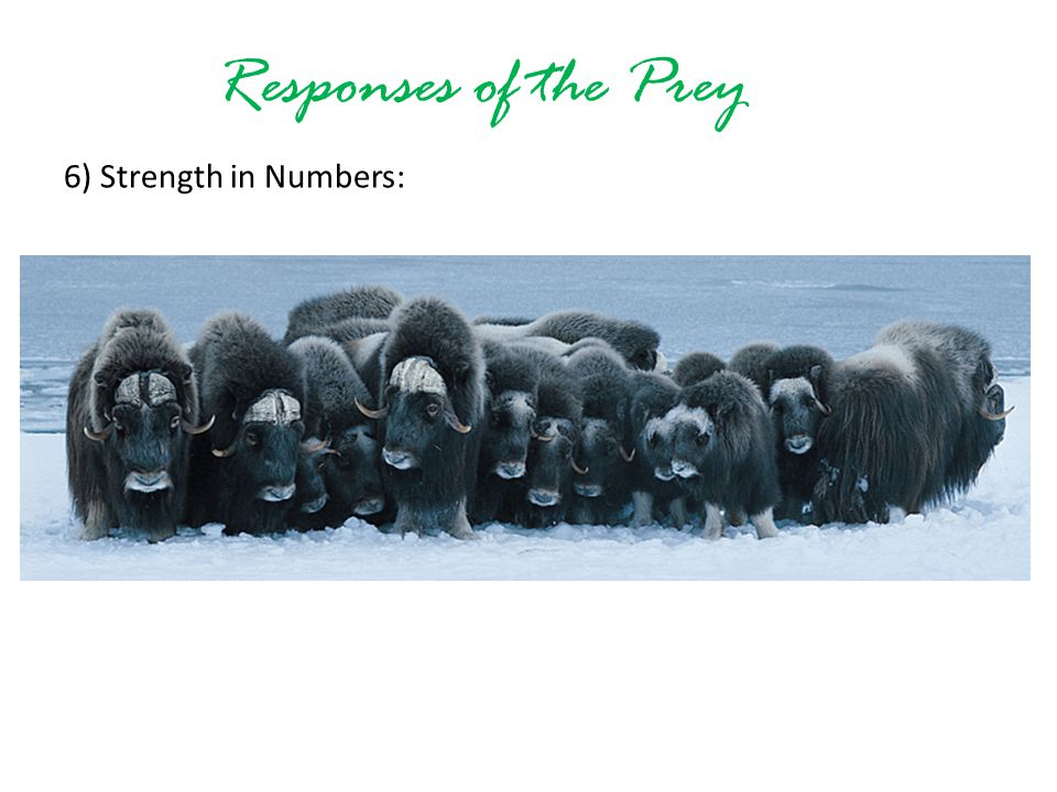 Responses of the Prey 6) Strength in Numbers: