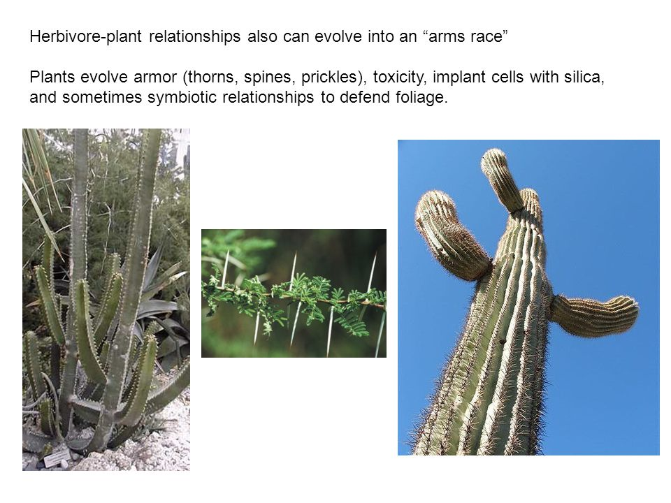Herbivore-plant relationships also can evolve into an arms race Plants evolve armor (thorns, spines, prickles), toxicity, implant cells with silica, and sometimes symbiotic relationships to defend foliage.