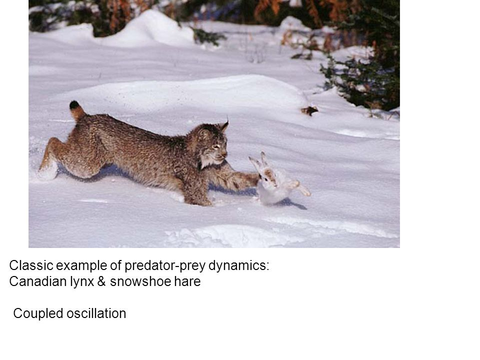 Classic example of predator-prey dynamics: Canadian lynx & snowshoe hare Coupled oscillation
