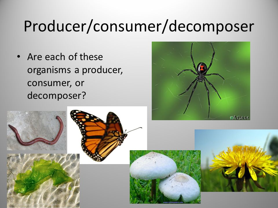 Consumers - Predator/Prey An organism that kills and eats another organism for food is called a predator.
