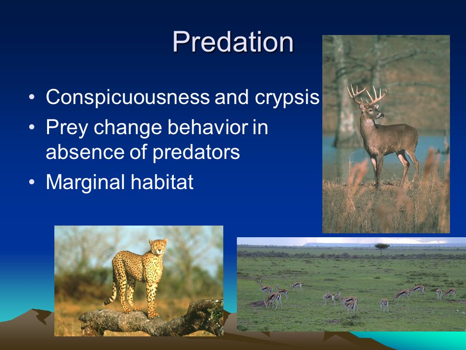Effect of predators on prey density CATEGORYLOCATIONDENSITY PER KM 2 PREDATORS ABSENTSlate islands4-8 Norway3-4 Newfoundland8-9 South Georgia2 MOUNTAIN-DWELLINGFinlayson0.15 (predator more intenseLittle Rancheria0.1 and frequent)Central Alaska0.2 FOREST-DWELLINGQuesnel Lake0.03 (predation high andOntario0.03 constant)Saskatchewan0.03