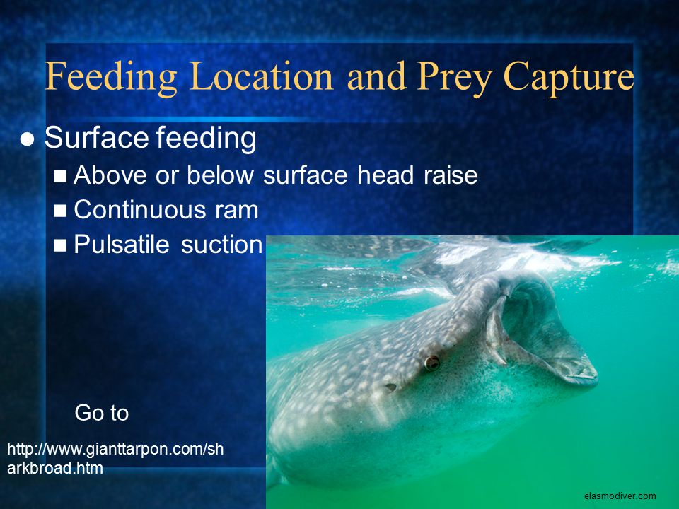 Feeding Location and Prey Capture Surface feeding Above or below surface head raise Continuous ram Pulsatile suction elasmodiver.com http://www.gianttarpon.com/sh arkbroad.htm Go to