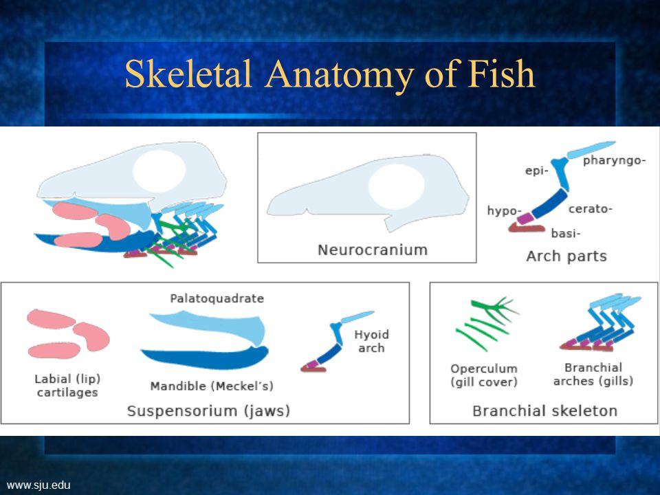 Ancestral Sharks - Amphistylic www.sju.edu Palatoquadrate articulates with the postorbital process of the braincase (as does the hyomandibula) and the ethmoid part of the braincase.