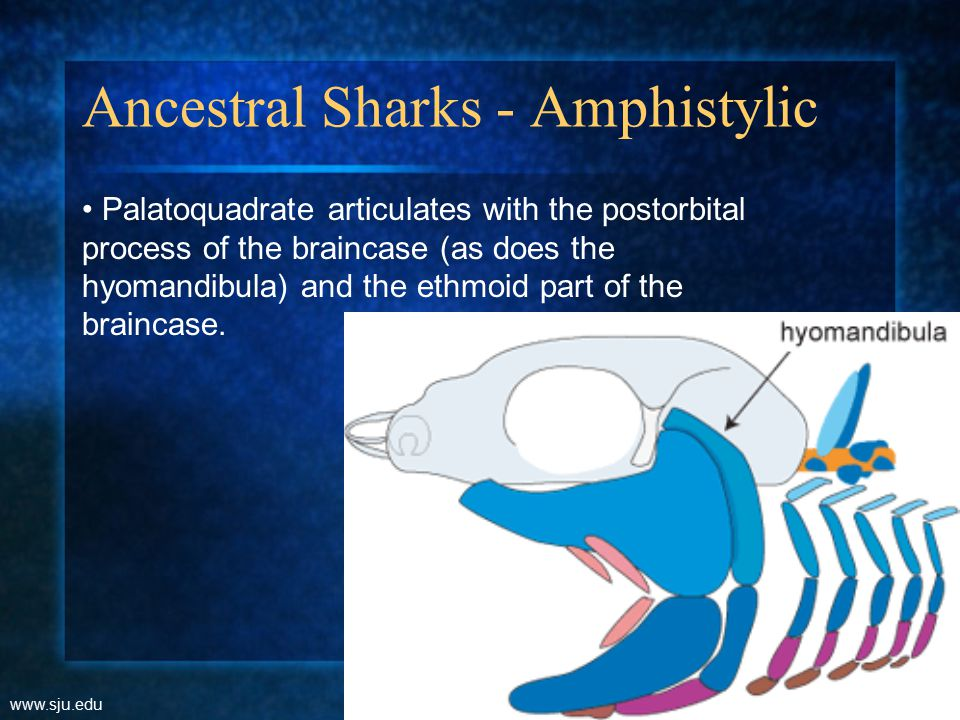 Ancestral Sharks - Amphistylic www.sju.edu Palatoquadrate articulates with the postorbital process of the braincase (as does the hyomandibula) and the ethmoid part of the braincase.