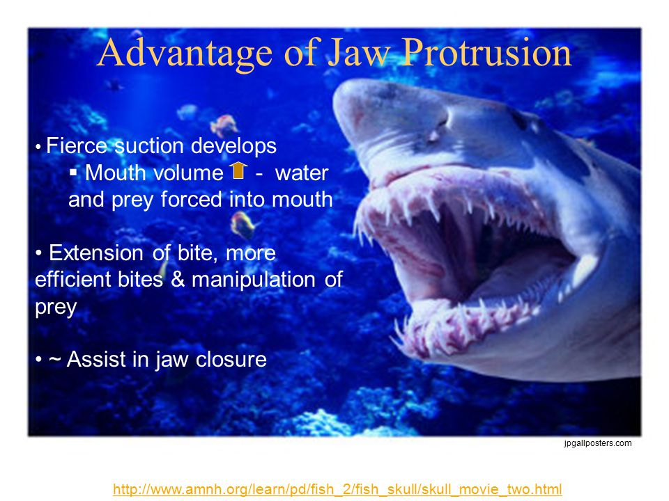 Advantage of Jaw Protrusion http://www.amnh.org/learn/pd/fish_2/fish_skull/skull_movie_two.html Fierce suction develops  Mouth volume - water and prey forced into mouth Extension of bite, more efficient bites & manipulation of prey ~ Assist in jaw closure jpgallposters.com
