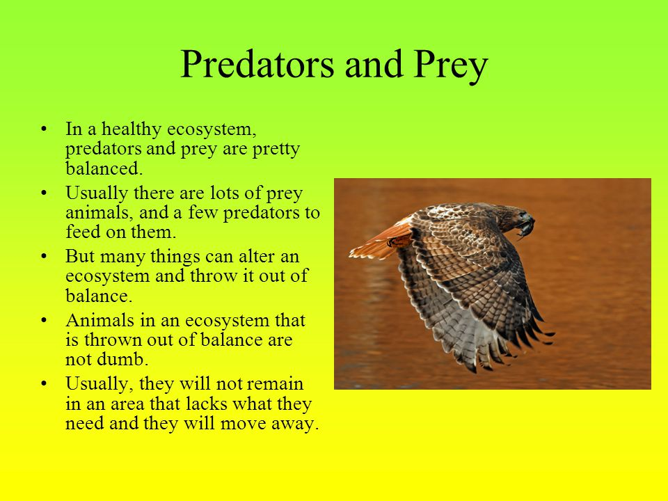 Predators and Prey In a healthy ecosystem, predators and prey are pretty balanced. Usually there are lots of prey animals, and a few predators to feed
