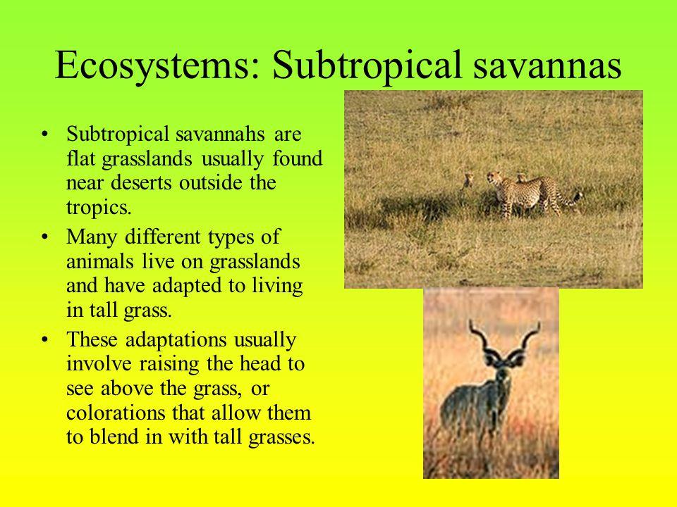 Ecosystems: Subtropical savannas Subtropical savannahs are flat grasslands usually found near deserts outside the tropics.