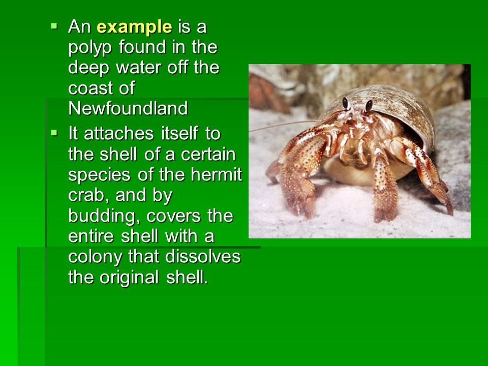  An example is a polyp found in the deep water off the coast of Newfoundland  It attaches itself to the shell of a certain species of the hermit crab, and by budding, covers the entire shell with a colony that dissolves the original shell.