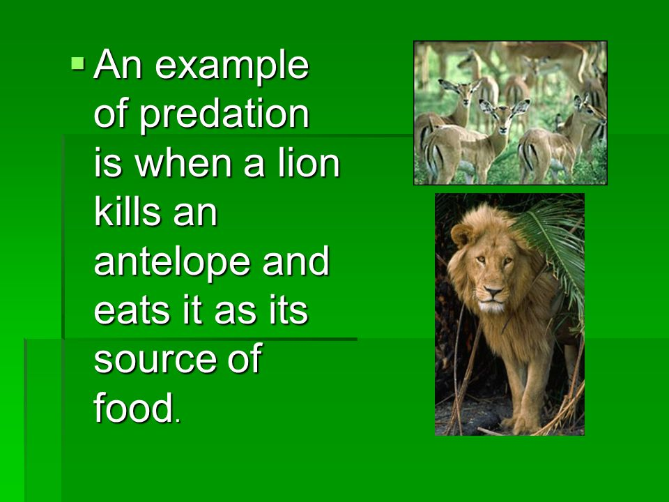  An example of predation is when a lion kills an antelope and eats it as its source of food.