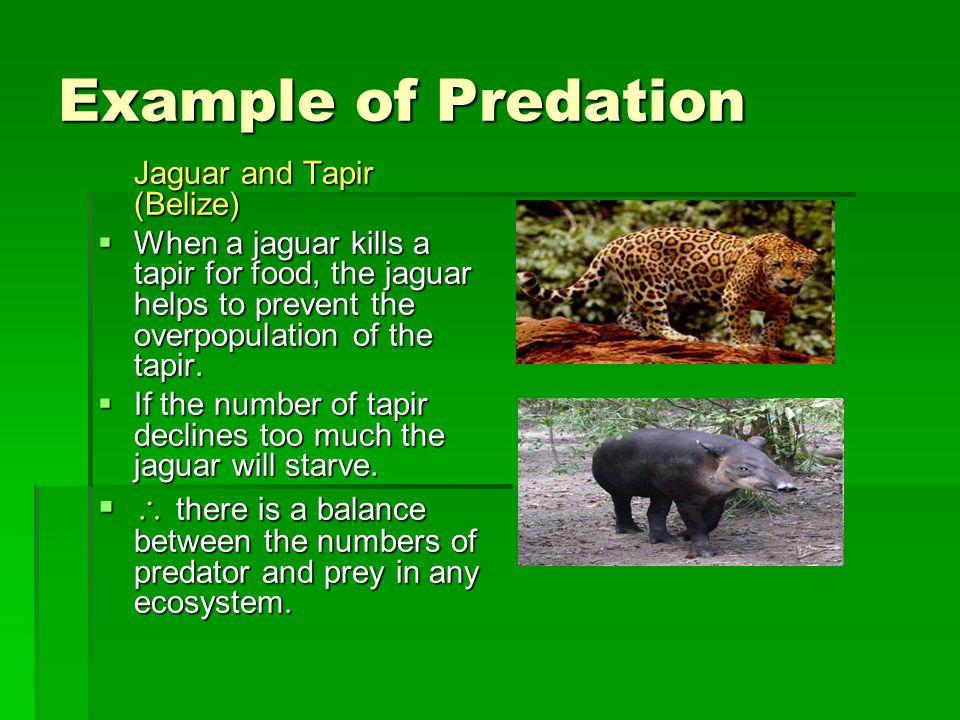 Example of Predation Jaguar and Tapir (Belize)  When a jaguar kills a tapir for food, the jaguar helps to prevent the overpopulation of the tapir.