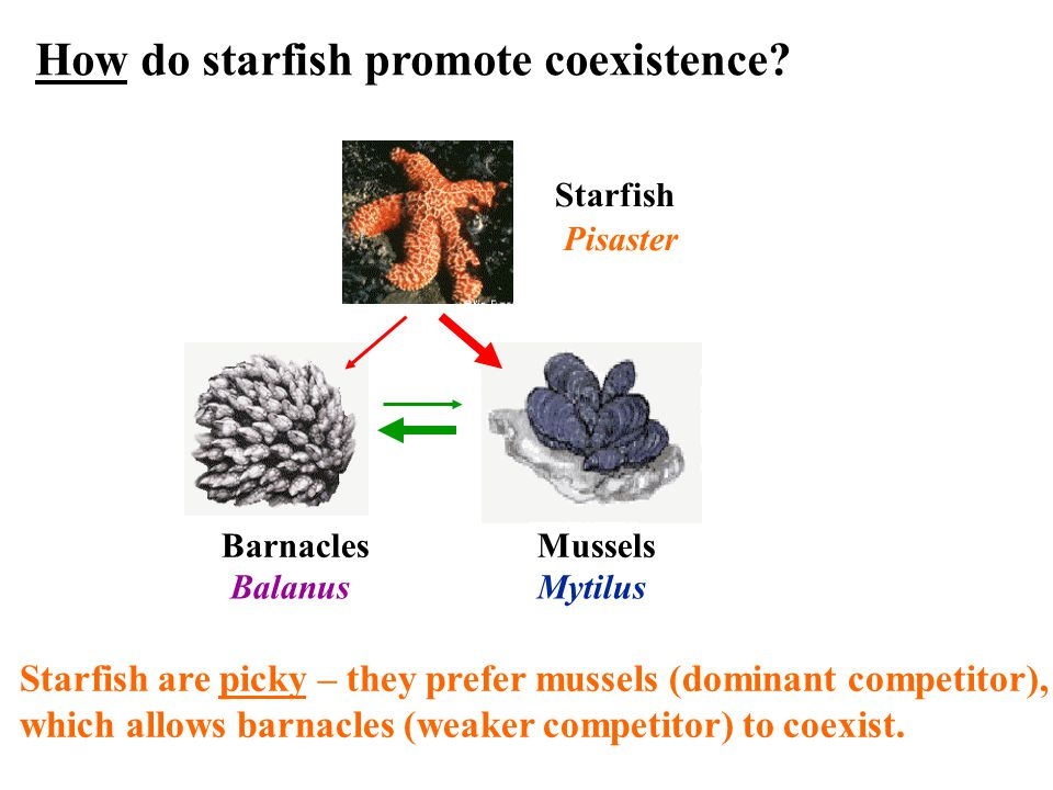 Barnacles Mussels Starfish Pisaster Starfish are picky – they prefer mussels (dominant competitor), which allows barnacles (weaker competitor) to coexist.