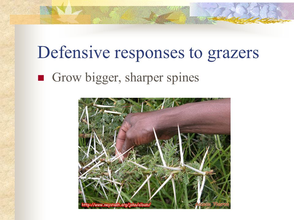 Defensive responses to grazers Grow bigger, sharper spines