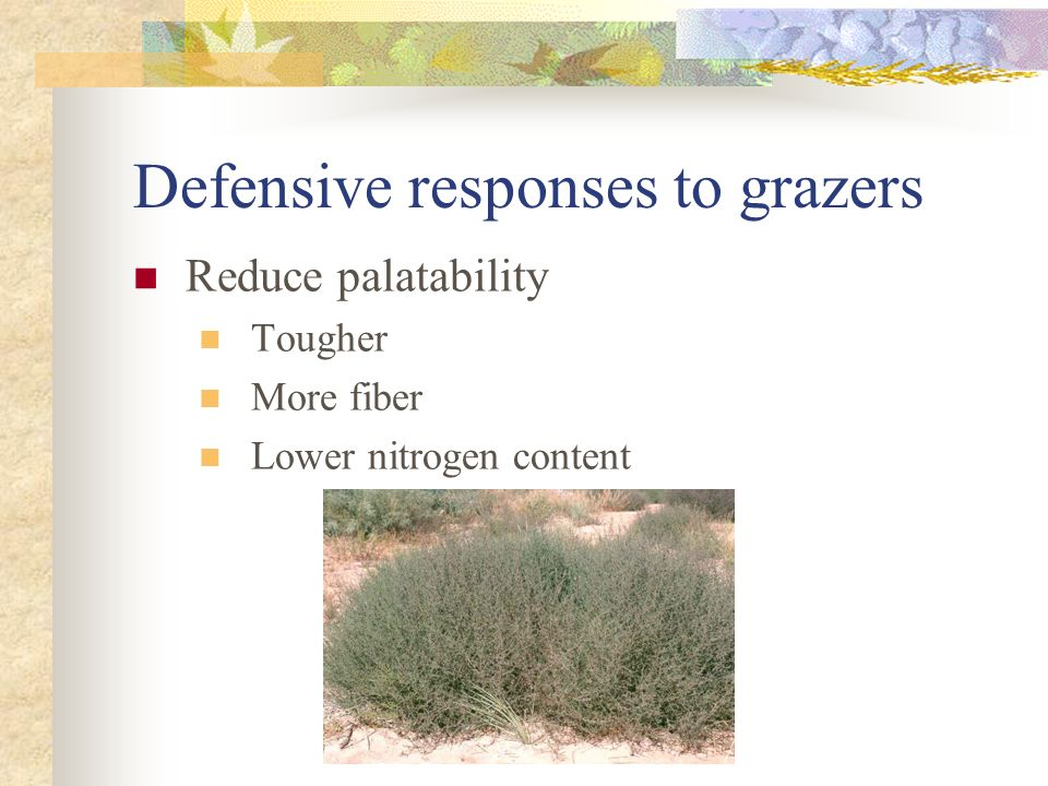 Defensive responses to grazers Reduce palatability Tougher More fiber Lower nitrogen content