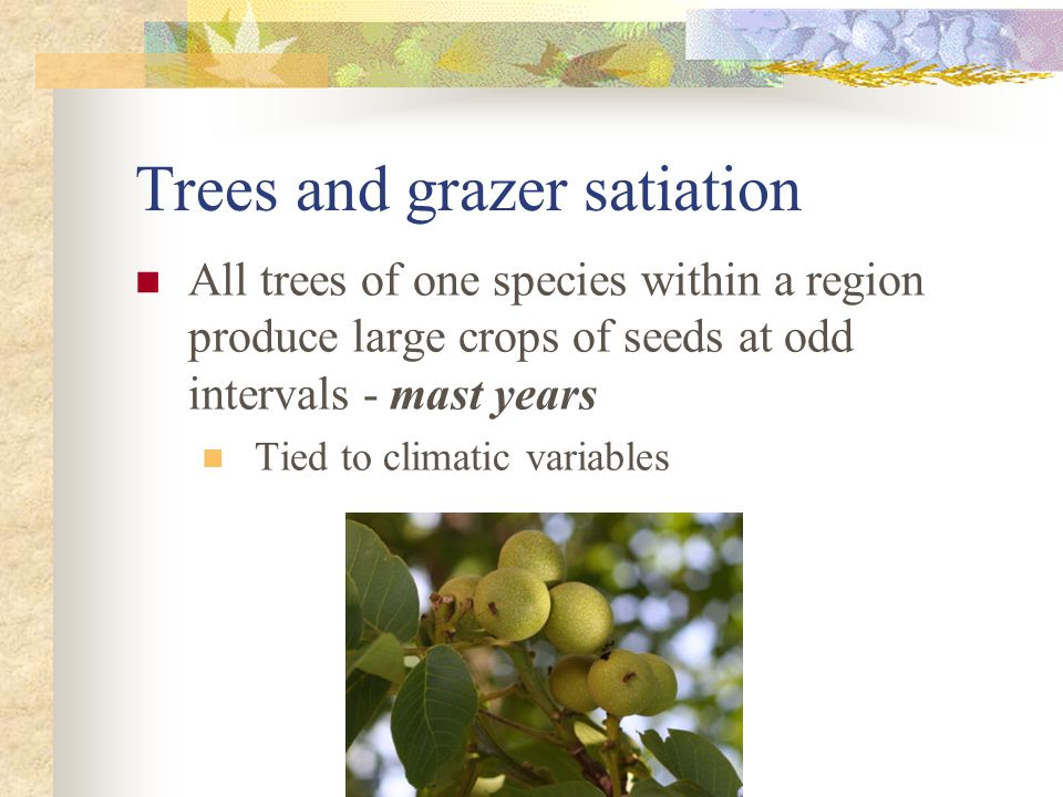 Trees and grazer satiation All trees of one species within a region produce large crops of seeds at odd intervals - mast years Tied to climatic variables