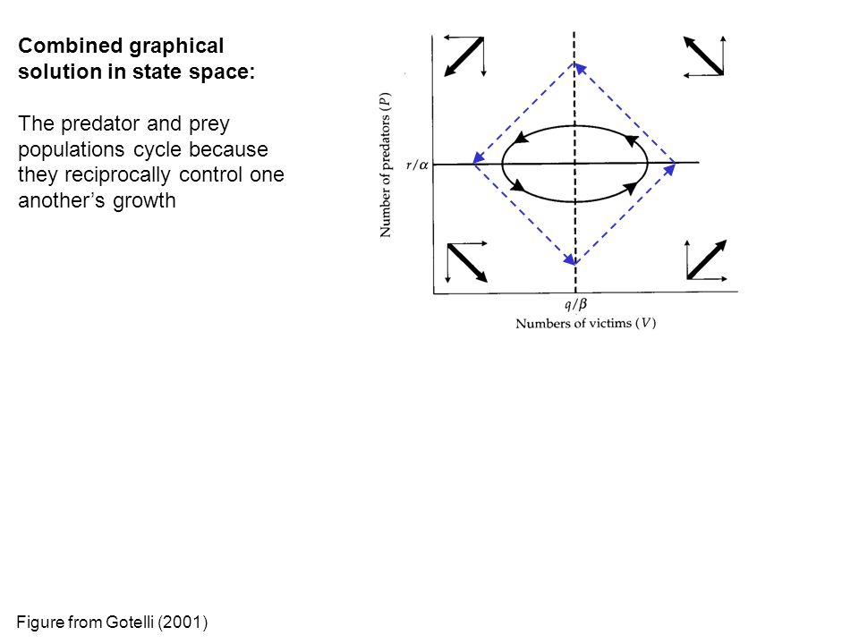 Combined graphical solution in state space: The predator and prey populations cycle because they reciprocally control one another's growth Figure from Gotelli (2001)