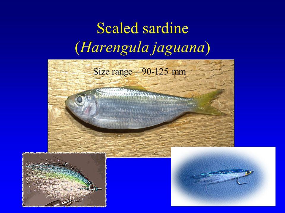 Scaled sardine (Harengula jaguana) Size range—90-125 mm
