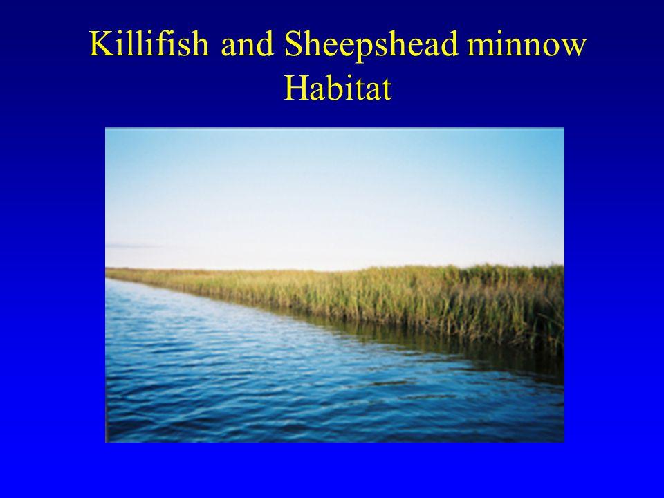 Killifish and Sheepshead minnow Habitat