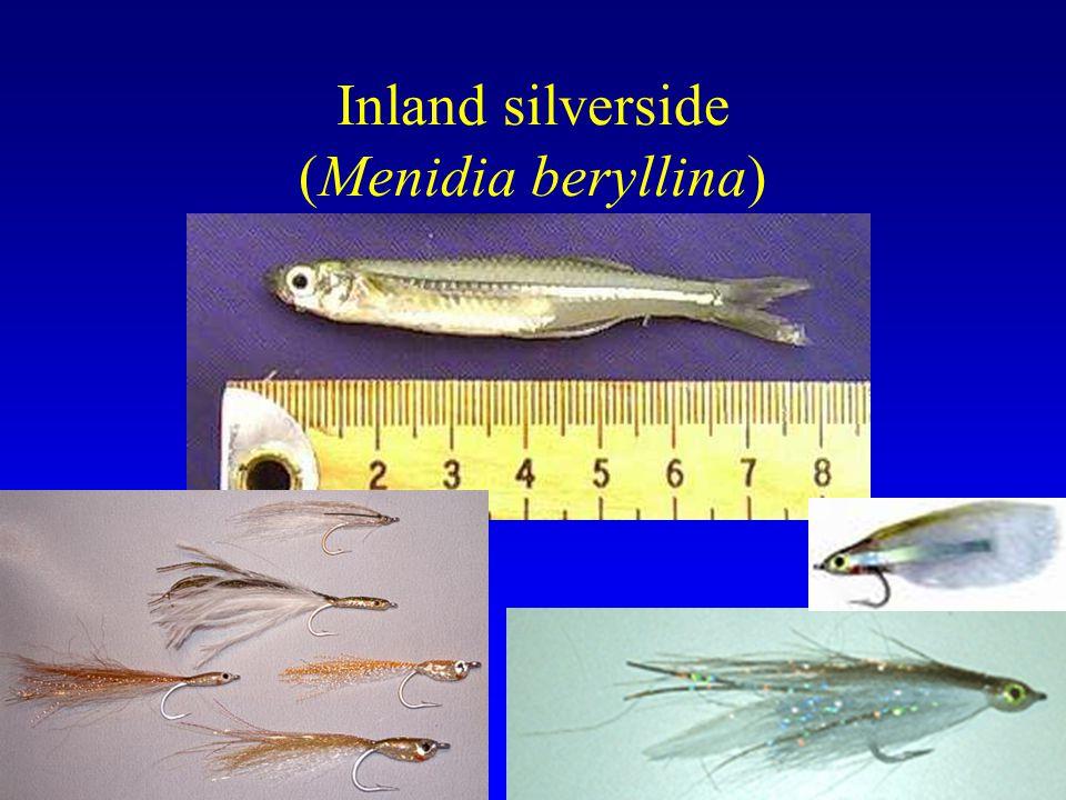 Inland silverside (Menidia beryllina)