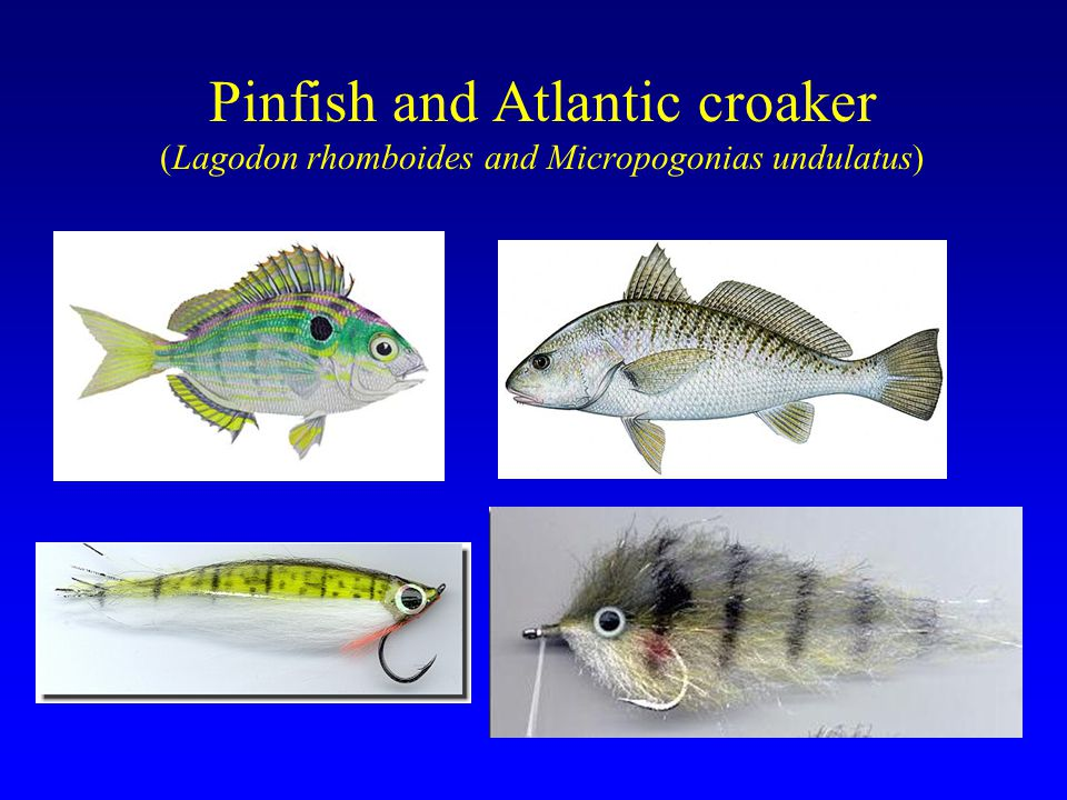 Pinfish and Atlantic croaker (Lagodon rhomboides and Micropogonias undulatus)