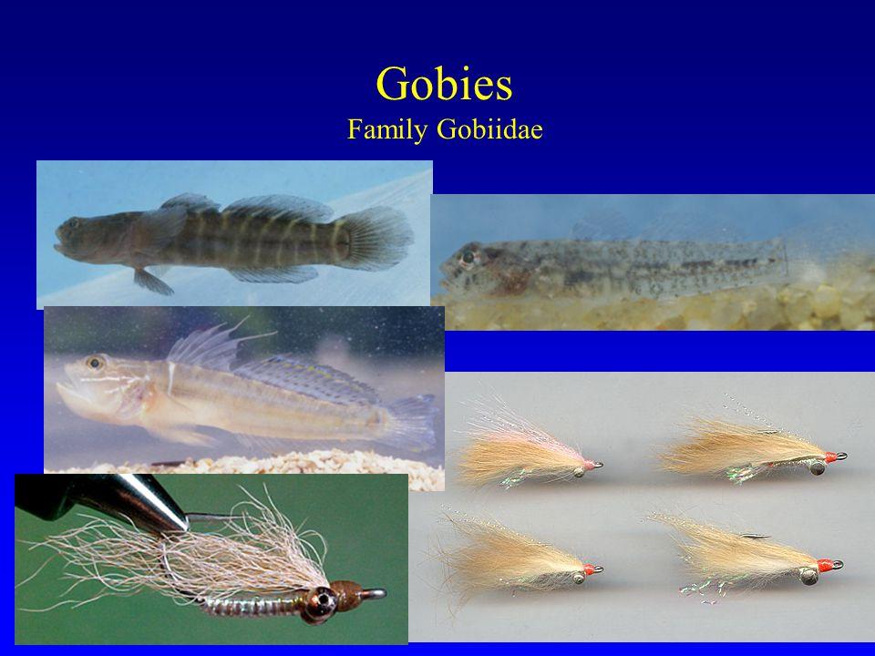 Gobies Family Gobiidae