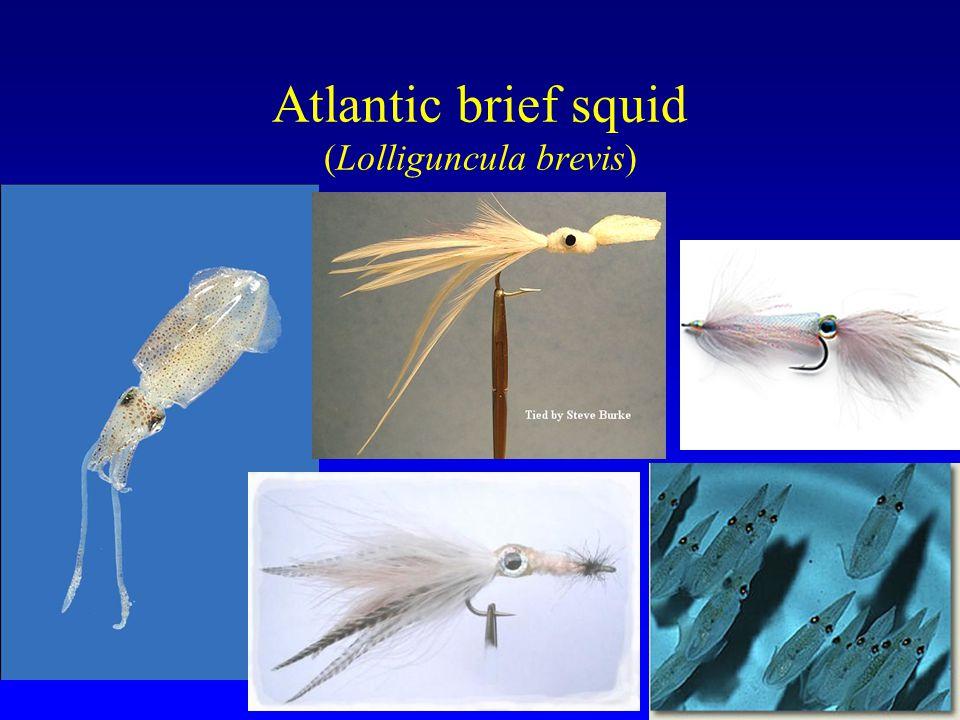 Atlantic brief squid (Lolliguncula brevis)