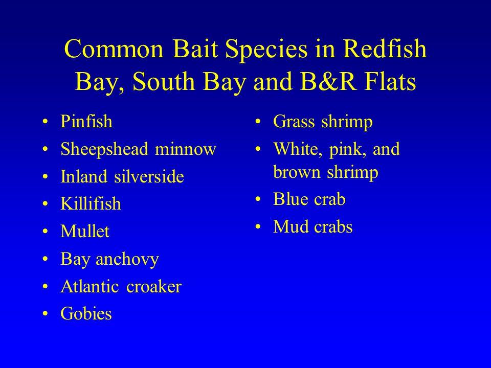 Common Bait Species in Redfish Bay, South Bay and B&R Flats Pinfish Sheepshead minnow Inland silverside Killifish Mullet Bay anchovy Atlantic croaker
