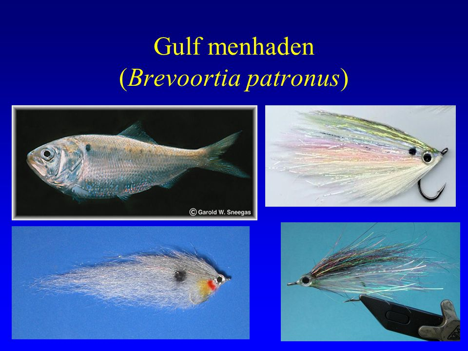 Monthly Abundance and Size of Menhaden from Coastal Bend Shorelines Late Fall/Early Winter Gulf spawners, 115 mm by age 1, 5 years max age