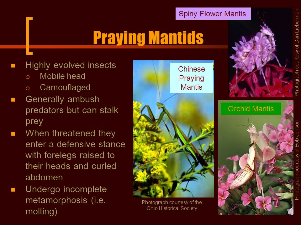Praying Mantids Highly evolved insects  Mobile head  Camouflaged Generally ambush predators but can stalk prey When threatened they enter a defensive stance with forelegs raised to their heads and curled abdomen Undergo incomplete metamorphosis (i.e.