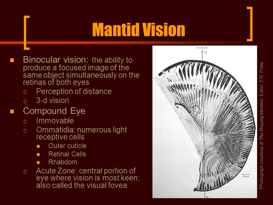 Mantid Vision Binocular vision: the ability to produce a focused image of the same object simultaneously on the retinas of both eyes  Perception of distance  3-d vision Compound Eye  Immovable  Ommatidia: numerous light receptive cells Outer cuticle Retinal Cells Rhabdom  Acute Zone: central portion of eye where vision is most keen; also called the visual fovea Photograph courtesy of The Praying Mantids; Editor, F.R.