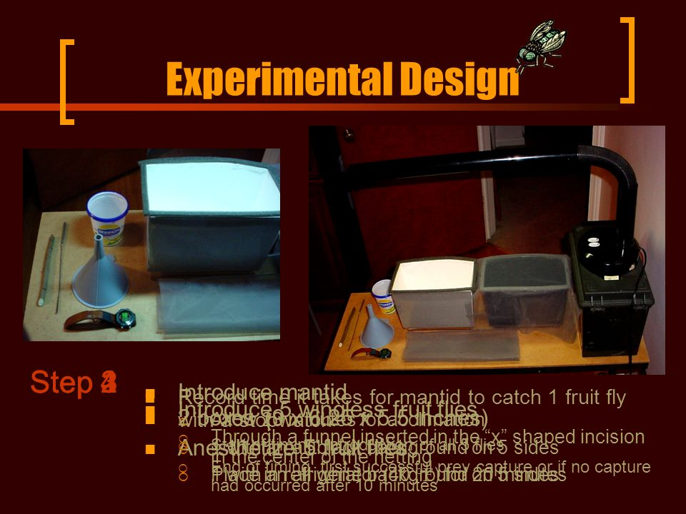 Experimental Design 2 boxes (9 x 6.25 x 5.5 inches)  1 with an all black background on 5 sides  1 with an all white background on 5 sides Step 1 Introduce mantid  Allow 20 minutes for acclimation Anesthetize 5 fruit flies  Place in refrigerator (40 °F ) for 20 minutes Step 2 Introduce 5 wingless fruit flies  Through a funnel inserted in the x shaped incision in the center of the netting Step 3 Record time it takes for mantid to catch 1 fruit fly with a stopwatch  Start of timing: introduction of all 5 flies  End of timing: first successful prey capture or if no capture had occurred after 10 minutes Step 4