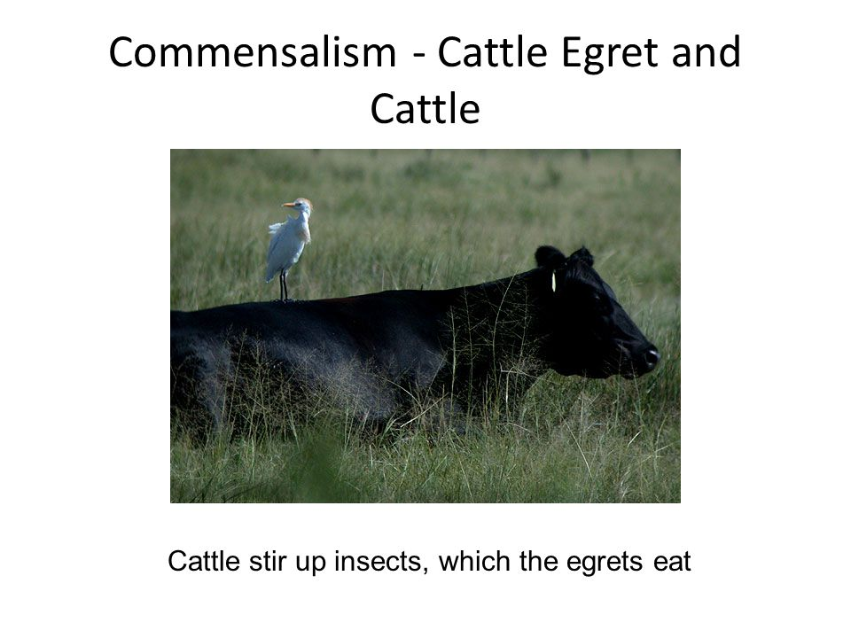 Commensalism - Cattle Egret and Cattle Cattle stir up insects, which the egrets eat