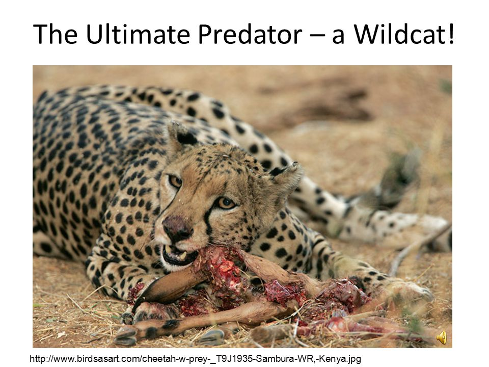 The Ultimate Predator – a Wildcat.