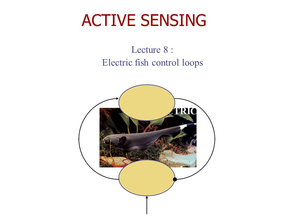 ACTIVE SENSING Lecture 8 : Electric fish control loops ELECTRIC FISH